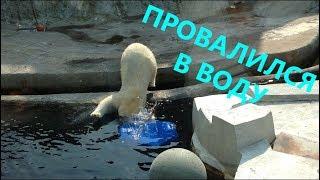 Белый медведь. Возился с ведёрком и провалился в воду. Очень смешное видео.(Эмилия) # Polar Bear #