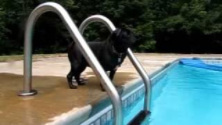 Pug Olympic Swim Training