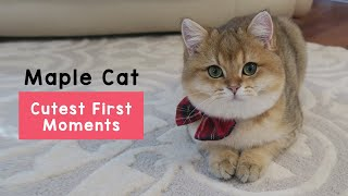 Cutest first moments with Maple Cat