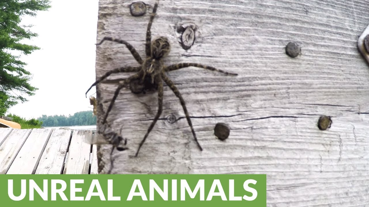 Gigantic Dock Spider Enjoys Being Hand Fed Youtube