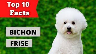 || Top 10 Bichon Frise Facts || Bichon Frise Dog ||