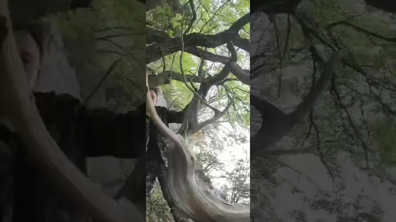 CHĐ 219 : Kỳ thú   Mã : CHĐ 63 Cây Trắc Bách Ngọc trai  : Hàng thế dáng tự nhiên  - Nguồn gốc : Lào