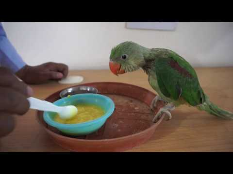 how to feed baby parrot