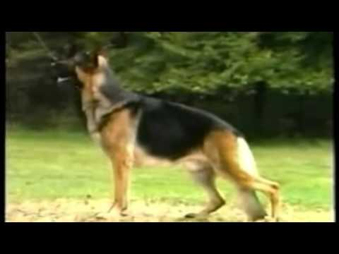 The Official AKC Breed Standard for the German Shepherd Dog | American Show Lines