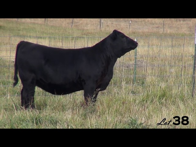 Pine Coulee Angus Lot 38