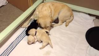 Labrador Retriever Puppies @ 2 Weeks - Sadie's Final Litter - Tchesinkut Labrador Retrievers