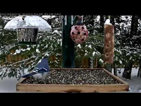 Blue and Gray Jays Swap Time at the Feeders – Dec. 5, 2016