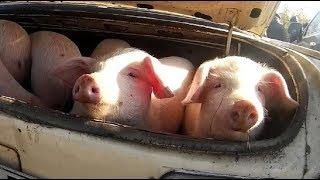 Свиньи  Народные ускорители роста