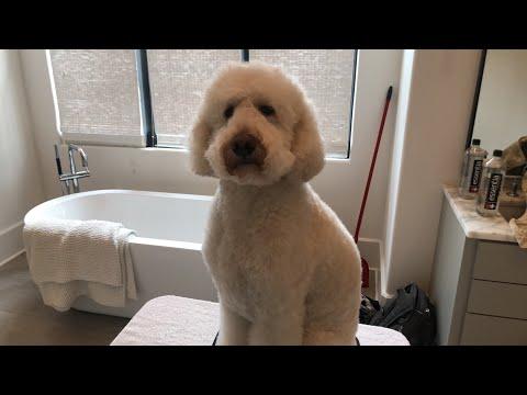 Teddy Bear Trim for a Poodle