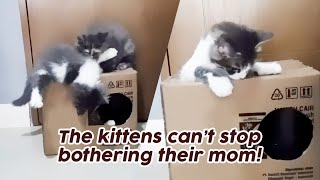 Kittens Vs Mom Cat - they won't stop bothering mom!