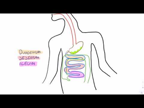 A test movie about the gastrointestinal tract