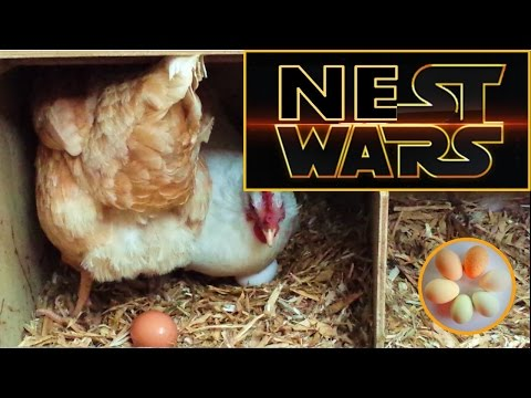 Hens want the same nest box - NEST WARS !   Warning: graphic footage of nest box behaviour