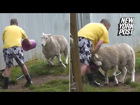 Aggressive sheep shows man who