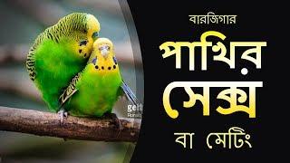 বারজিগারের সেক্স বা মেটিং   Reproduction Process Of Budgie & Parakeets    পাখি পালন । Pakhi Palon