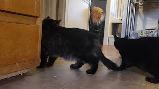 SEE WHAT HAPPENS NEXT !!! #CatMeme #FunnyVideo #Memes