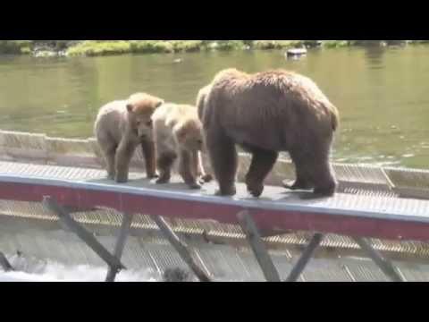 Alaska Bears Kodiak Alaska