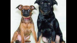 брабанские лизуны(Брабансон – очень игривая собака, которая ценит внимание человека. Эти гриффоны любят детей, привязываются..., 2014-11-23T11:25:10.000Z)