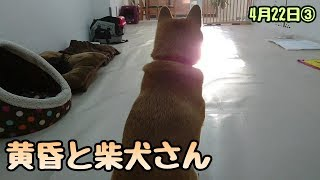 小梅ちゃん『今日も一日が終わる・・・』 柴犬 小梅ちゃん チワワ ミミ...