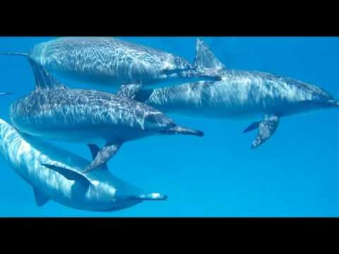 Dolphin Sounds  -  Sounds of Nature