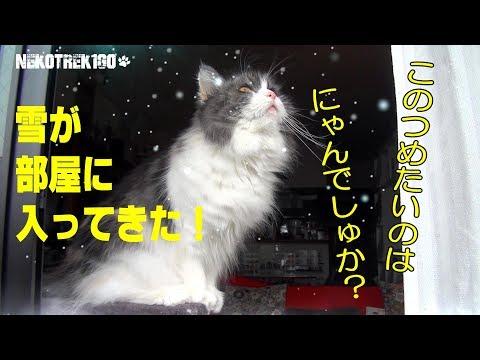 降り込んできた雪に驚く猫 Ragamuffin cat KOBAN is startled snow