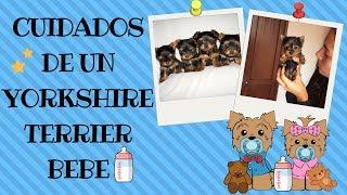 Cuidados de un Yorkshire Terrier (Yorkie) bebe