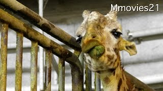 円山動物園のエランド、マサイキリン、カバが暮らす、熱帯動物館。 この...