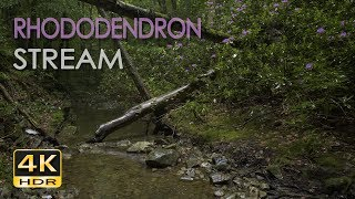 4K HDR Rhododendron Stream & Drizzling Rain - Trickling Water Sounds - Relaxing Nature Video