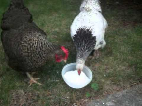 The Neighbor Chickens Eating Yogurt Youtube