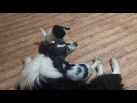Our veteran border collie dog and papillon puppies