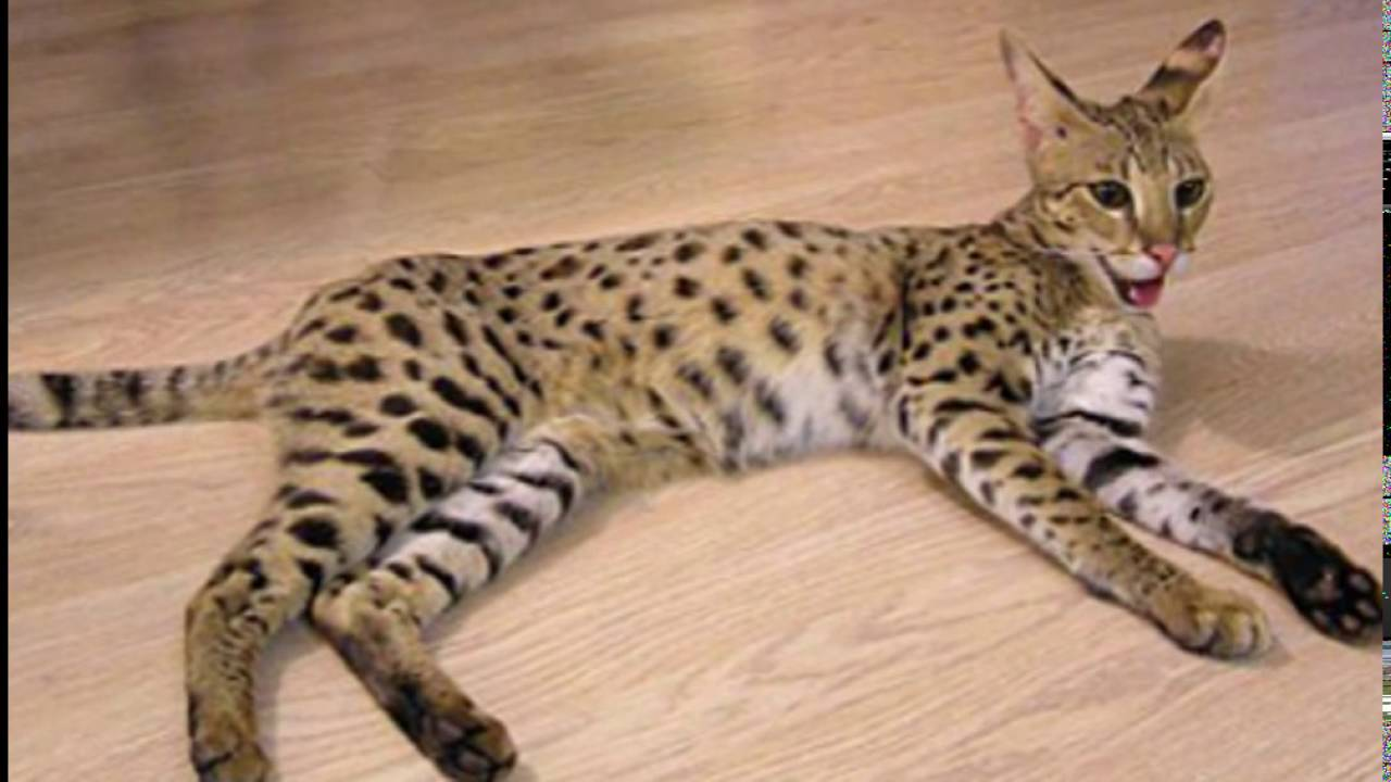 World s largest domestic cat