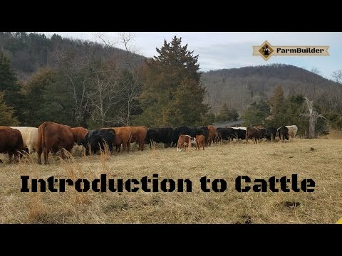 Introduction to cattle.