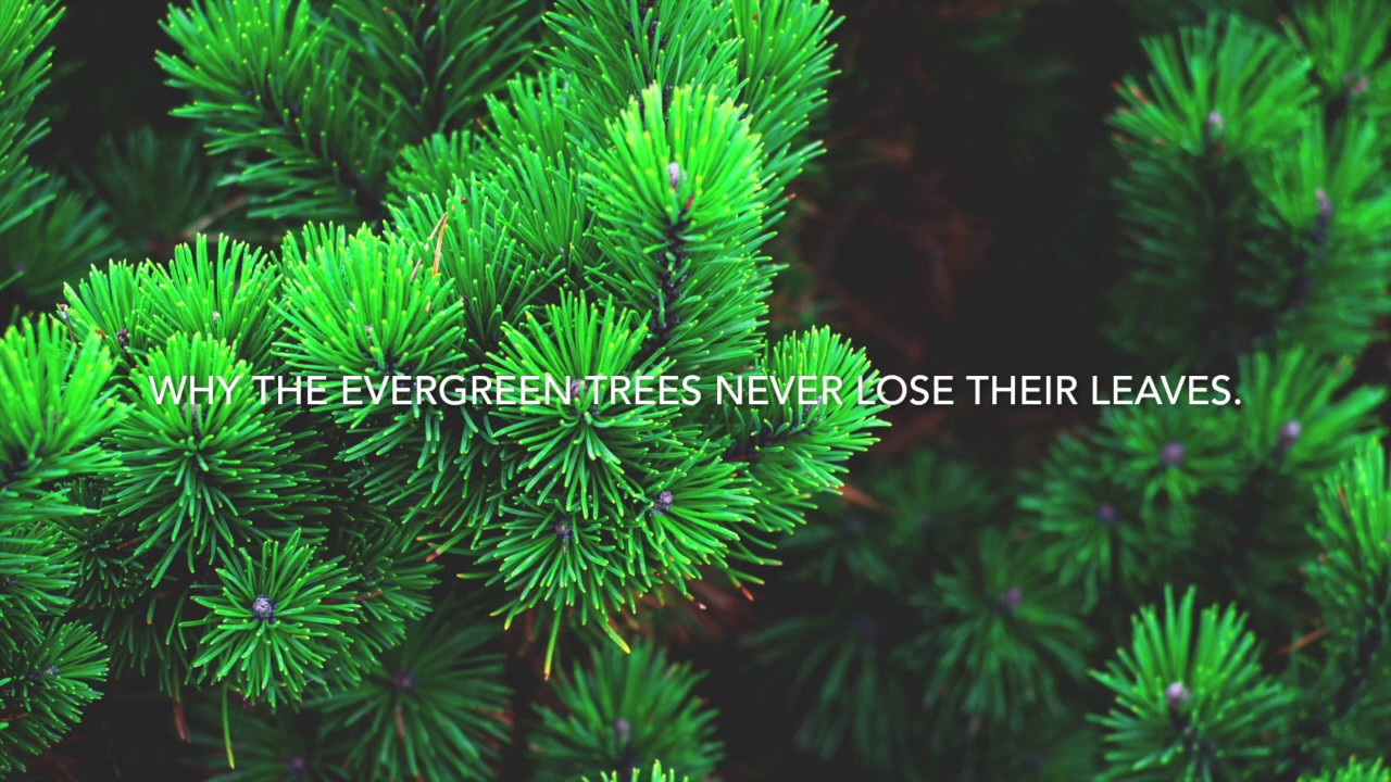 Why the Evergreen Trees Never Lose their Leaves (audiobook) - YouTube