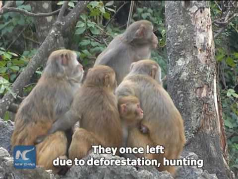 Monkey Mountain in SW China has monkeys again!