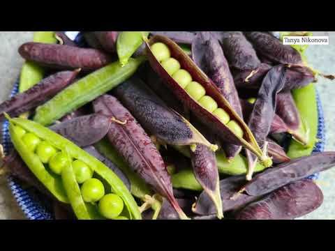 Фиолетовый ГОРОХ первый раз такой вижу. Урожайный огород.
