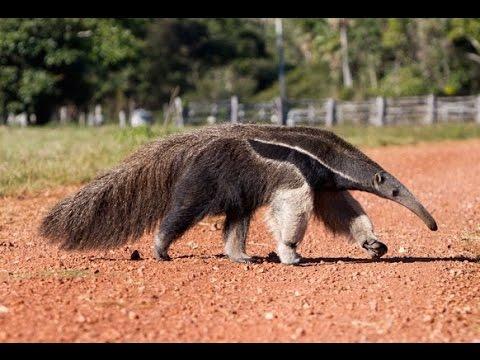Blackpool Zoo Anteaters - Strangest looking animal ever ...