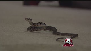 Punta Gorda home infested with snakes