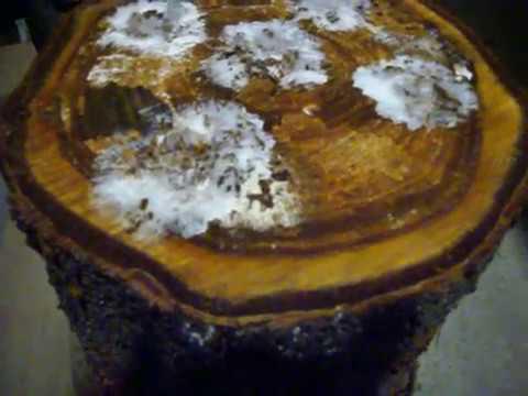 Как вырастить белые грибы прямо на участке, в саду