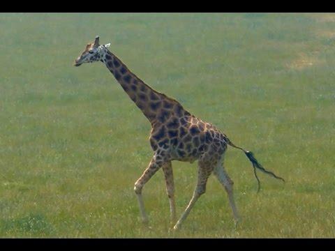 La jirafa sonidos y caracter sticas youtube for Taxonomia de la jirafa