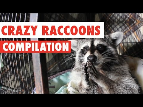Crazy Raccoons Video Compilation 2016