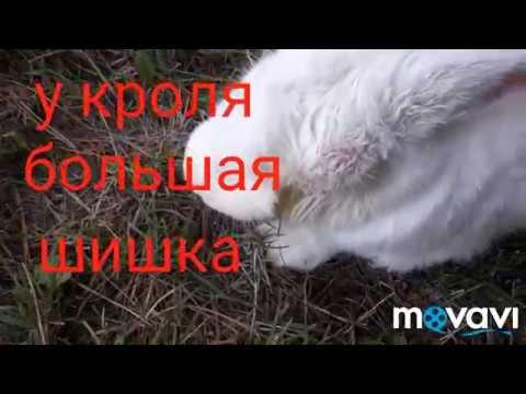 У Кролика Шишка. Абсцесс.