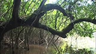 Mysterieuse mangrove - C