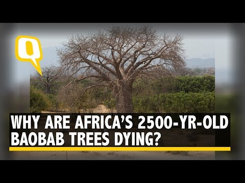 Africa's 2,500-Yr-Old Baobab Trees Are Dying Mysteriously | The Quint