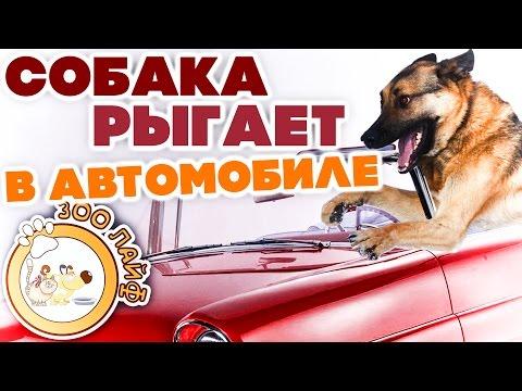 Собака рыгает в автомобиле. Бордер колли. Лабрадор. Овчарка.
