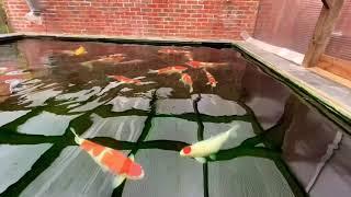 Japanese Koi Pond. RDF Filtration And Bakki House Media