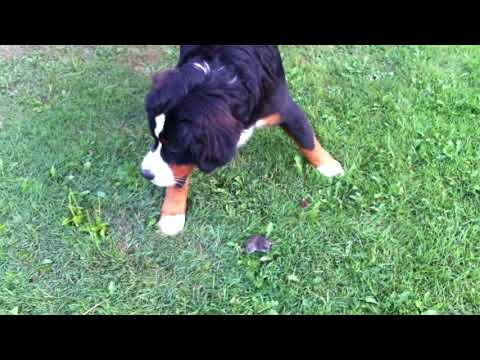 Adorable Young Dog Fights a Mouse!