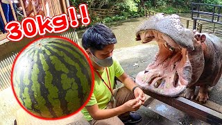 カバのジャンボスイカ2021 Hippo eat huge watermelon