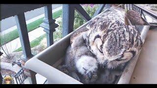 okc-owl-cam-secundo-s-big-bite-altera-feeds-both-owlets-3-23-17