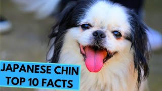 Japanese Chin  TOP 10 Interesting Facts