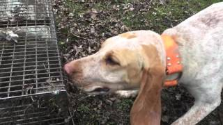 """How to train a coon hound from start to finish """"step 2"""" ep #2"""