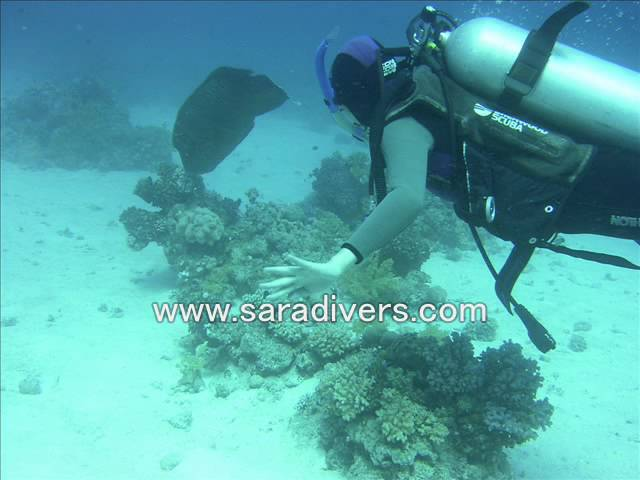 red sea scuba diving with napoleon with sara divers
